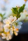 Flor branca da cereja foto de stock