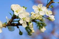 Flor branca da cereja imagens de stock