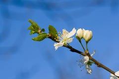 Flor branca da cereja foto de stock royalty free