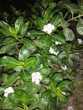 Flor branca da cor imagens de stock royalty free