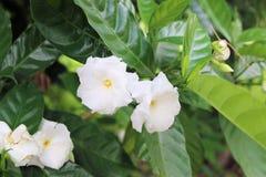 Flor branca da gardênia Fotos de Stock