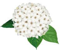 Flor branca da hortênsia Fotografia de Stock