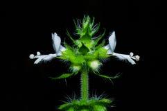 Flor branca da manjericão asiática Fotos de Stock Royalty Free