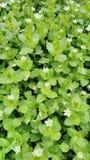 Flor branca da mola Fotos de Stock