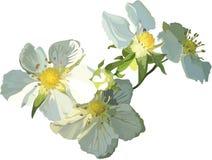 Flor branca da morango Imagens de Stock Royalty Free