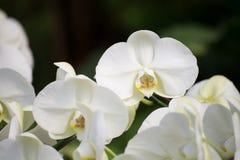 Flor branca da orquídea Imagem de Stock Royalty Free