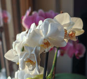 Flor branca da orquídea Imagem de Stock