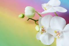 Flor branca da orquídea no fundo colorido Fotografia de Stock Royalty Free
