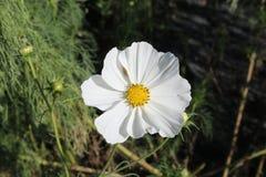 Flor branca da pétala com centro amarelo Foto de Stock