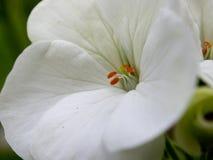 Flor branca da pétala com folhas verdes Foto de Stock