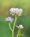 Flor branca da palha Imagem de Stock