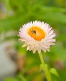 Flor branca da palha Imagem de Stock Royalty Free