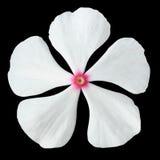 Flor branca da pervinca com o centro cor-de-rosa isolado foto de stock