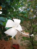 A flor branca da sapata Fotografia de Stock Royalty Free