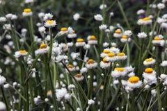 Flor branca de Ammobium Fotos de Stock Royalty Free