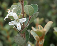 Flor branca de Correa Imagem de Stock