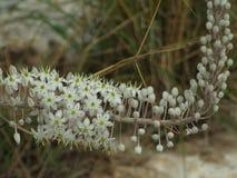 Flor branca de Drimia que floresce no outono fotografia de stock royalty free