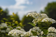 Flor branca de florescência - decumbens do Spiraea - close up Fotografia de Stock