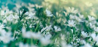 Flor branca de florescência no prado - florescendo na mola Fotos de Stock