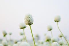 Flor branca de Globosa do Gomphrena Foto de Stock