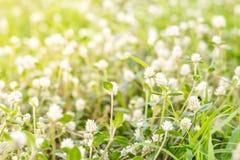 Flor branca de Globosa do Gomphrena Fotografia de Stock Royalty Free