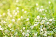 Flor branca de Globosa do Gomphrena Imagem de Stock Royalty Free