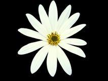 A flor branca de jardim, enegrece o fundo isolado com trajeto de grampeamento closeup Imagens de Stock
