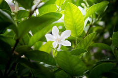 Flor branca de Jasmine Vine com luz na manhã Fotos de Stock Royalty Free
