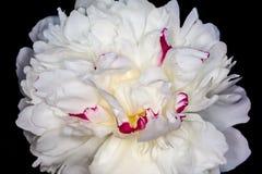 flor branca de Paeoniaseae Imagem de Stock Royalty Free
