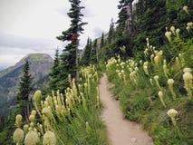 Flor branca de tenax do Xerophyllum de Beargrass na fuga de Highline em Logan Pass em ir à estrada de Sun no parque nacional U de imagens de stock royalty free