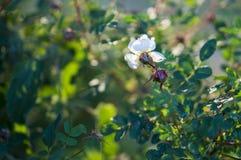 A flor branca de uma florescência selvagem aumentou dentro entre as folhas verdes Imagens de Stock
