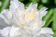 Flor branca de uma peônia do jardim Imagem de Stock