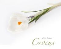 Flor branca do açafrão Foto de Stock
