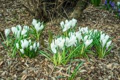 Flor branca do açafrão em um jardim com casca Imagem de Stock