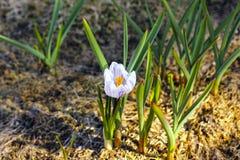 Flor branca do açafrão no jardim Imagens de Stock Royalty Free