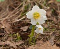 A flor branca do açafrão quebrou com amarelo velho seca as folhas Fim acima Fotografia de Stock