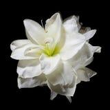 Flor branca do Amaryllis no preto Fotos de Stock Royalty Free