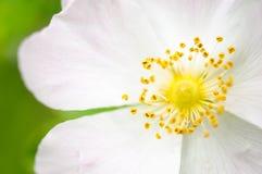 Flor cor-de-rosa do cão imagem de stock royalty free