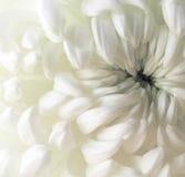 Flor branca do crisântemo closeup Fotografia de Stock