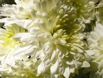 Flor branca do crisântemo na elevação do sol fotografia de stock royalty free