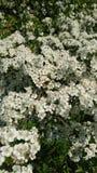 Flor branca do espinho Imagens de Stock Royalty Free