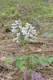 Flor branca do fumewort da mola na natureza Fotografia de Stock Royalty Free