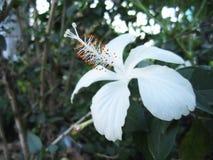 Flor branca do hibiscus Imagens de Stock Royalty Free
