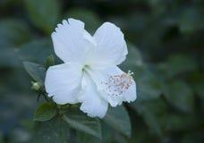 Flor branca do hibiscus Fotografia de Stock