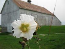 Flor branca do hock do azevinho com o celeiro no fundo fotografia de stock royalty free