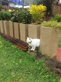 Flor branca do jardim do gato Imagem de Stock