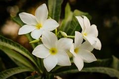 Flor branca do jasmim Fotografia de Stock
