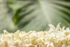 A flor branca do jasmim com orvalho da água nas pétalas no verde molhado sae do fundo fotos de stock royalty free