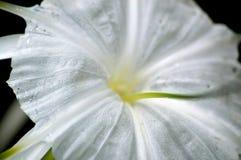 Flor branca do lírio da aranha foto de stock