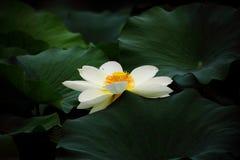 Flor branca do lírio de água Fotos de Stock Royalty Free